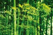 Bamboo in Spring