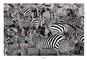Zebras Abstraction