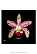 Vivid Orchid III