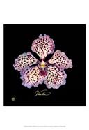 Vivid Orchid V