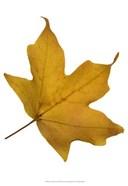 Leaf Inflorescence II