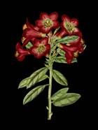 Crimson Flowers on Black (A) IV
