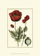 Small Poppy Blooms I (P)