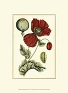 Small Poppy Blooms II (P)