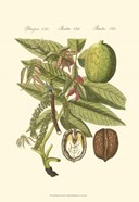 Small Bertruch Walnut (P)