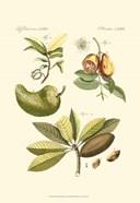 Small Bertruch Breadfruit (P)