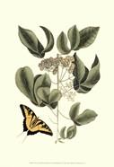 Sm Catesby Butterfly&Botan. II (P)