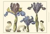 Small Iris in Bloom II (P)
