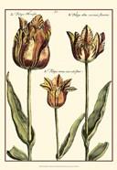 Small DePasse Tulipa I (P)
