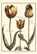 Small DePasse Tulipa II (P)