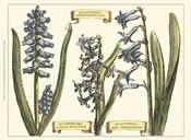 Custom Hyacinth in Bloom (U)