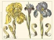 Custom Iris in Bloom I (U)