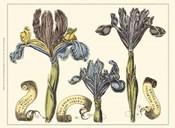 Custom Iris in Bloom II (U)