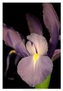 Small Sweet Iris II (U)