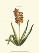 Antique Hyacinth XV