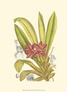 Orchid Plenty II