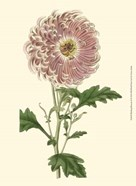 Blushing Blossoms II