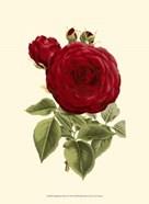 Magnificent Rose I