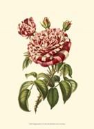 Magnificent Rose VI