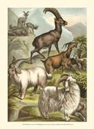 Johnson's Goats