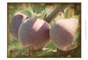 Vintage Apples I