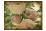 Vintage Apples IV