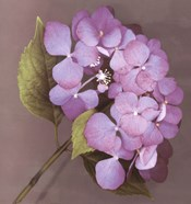 Purple Hydrangea