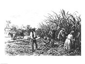 Cutting Sugar Cane in the South