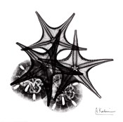X-ray Starfish & Sand Dollar BW