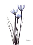 Blue Floral X-ray White Rain Lily