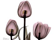 Trio of Tulips II