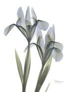 Blue Floral X-ray Iris