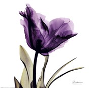 X-ray Royal Purple Parrot Tulip