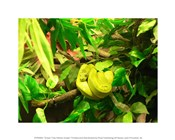 Green Tree Python Snake