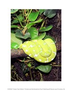 Green Tree Python