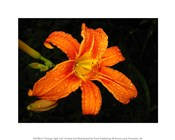 Orange Tiger Lily