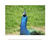 Peacock Closeup of Head