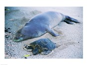 Hawaiian Monk Seal with Green Turtle relaxing on the sand