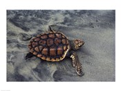 Loggerhead Turtle (Yearling)
