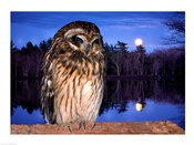 Barred Owl perching on a log