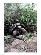 Galapagos Giant Tortoise eating grass