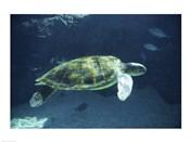 Green Sea Turtle - dark