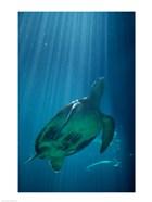 Green Sea Turtle - underwater