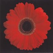 Gerbera Daisy Red
