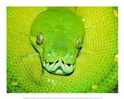 Emerald Tree Boa Snake Head