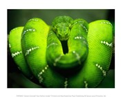 Green Emerald Tree Python Snake