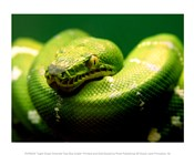 Light Green Emerald Tree Boa Snake