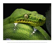 The Emerald Tree Boa Snake Head