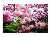 Close-up of cherry blossoms, Sumida River, Asakusa, Tokyo, Japan