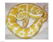 Albino Ball Python